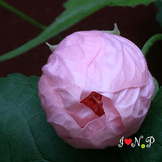 Pink Abutilon