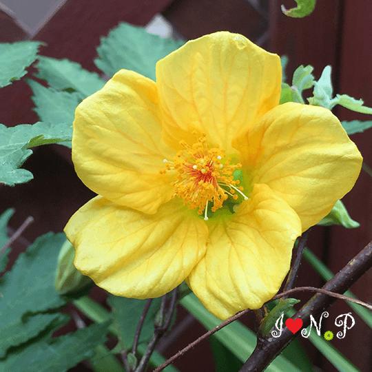 Yellow Chinese Lantern