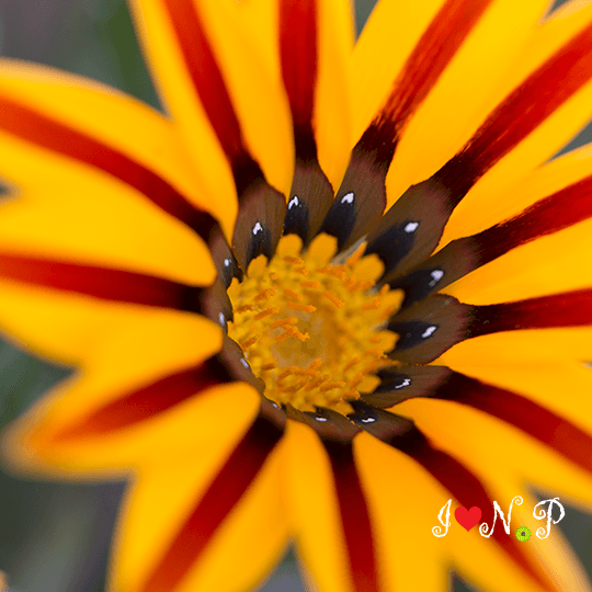 Yellow Striped Flower