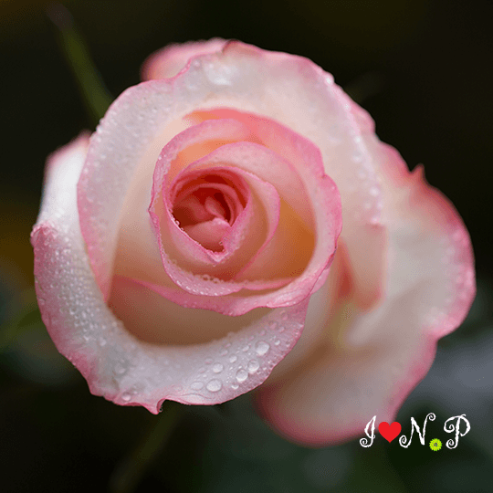 Kiss of Pink Rose