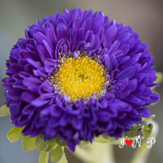 Matsumoto Flower