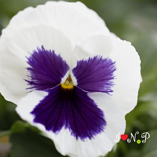 White & Purple Pansy