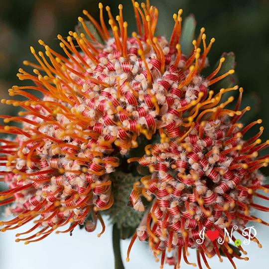Proteas Flower Field Resendiz Brothers