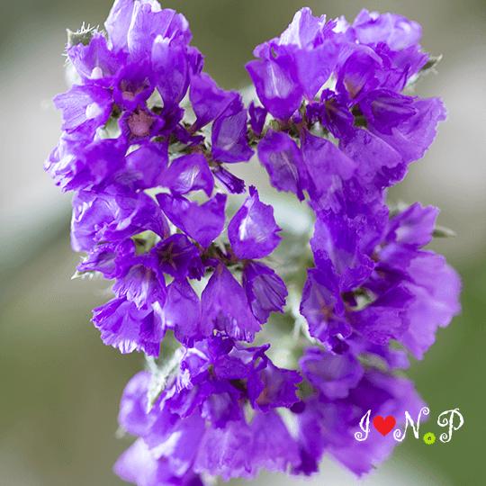 Purple Sea Lavender