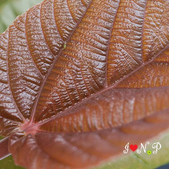 Roxburg Fig Leaf at the San Diego Botanic Garden