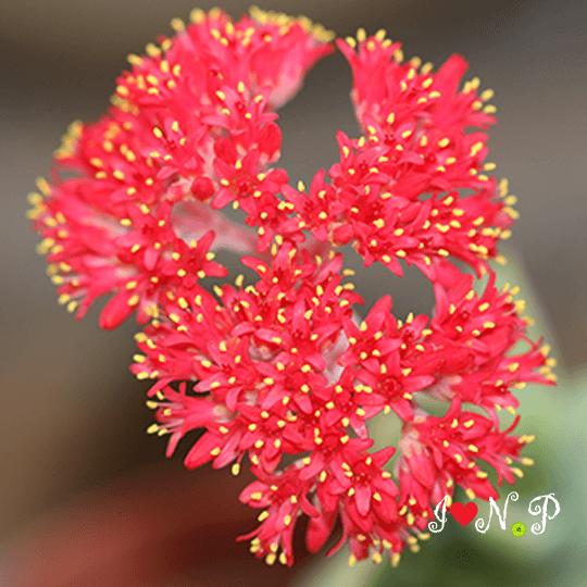 Red Flowering Succulent