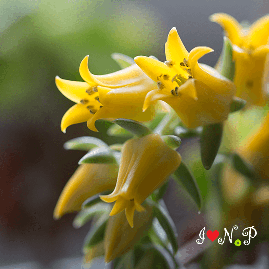 Yellow Flowering Succulent
