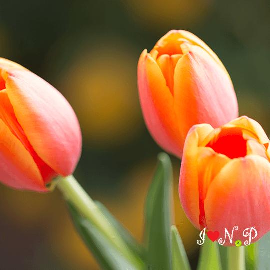 Tangerine Tulips