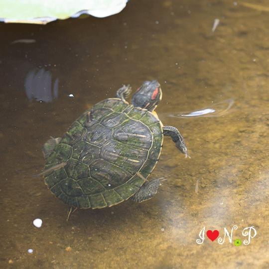 Turtle at the San Diego Botanic Garden