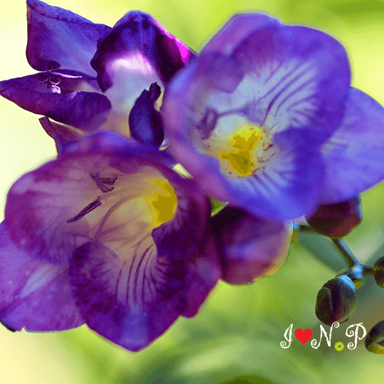 Violet Freeshia