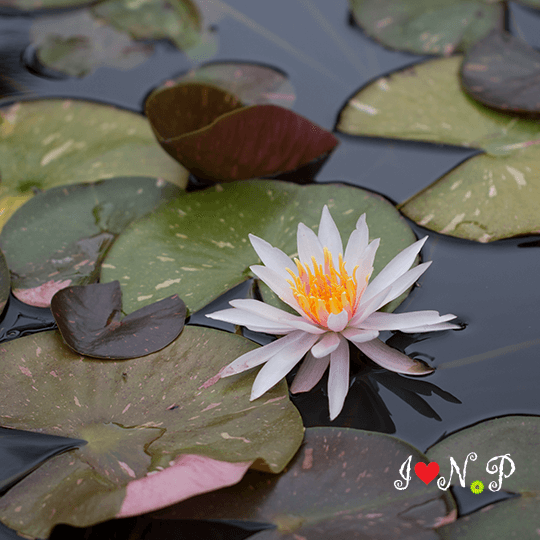Water Lily at the San Diego Botanic Garden