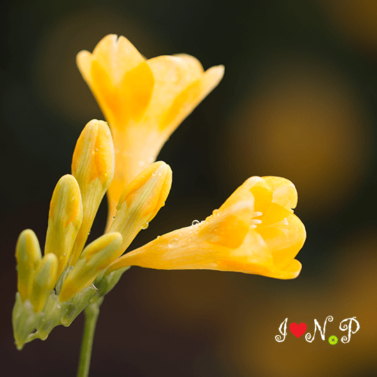 Yellow Freeshia